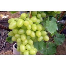 Виноград Белый великан