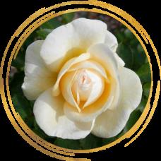 Роза канадская Джей Пи Коннел