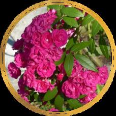 Роза Динки (штамбовая)