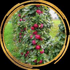 Саженцы яблони колоновидной оптом