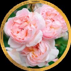 Роза Шарифа Асма (штамбовая)