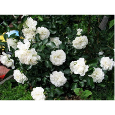 Роза плетистая Блан Мейдиланд