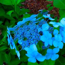 Гортензия Blue Bird