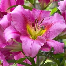 Лилия Purple Lady ОТ-гибрид