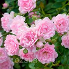 Роза THE FAIRY (Зе Фэйри)