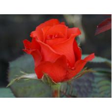 Роза Royal Massay - Роял Массай