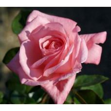 Роза плетистая Дэнсин Куин