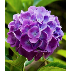 Гортензия Magical Flamenco blue