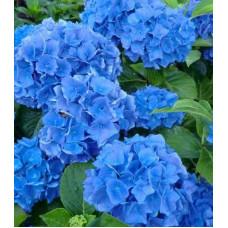 Гортензия Blue Wonder