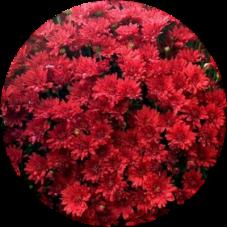Хризантема ЗЕЛОС