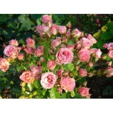 Роза Little Dream