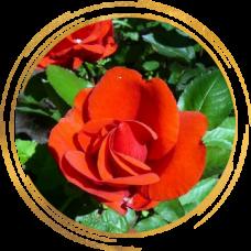 Роза канадская Моден Файрглоу