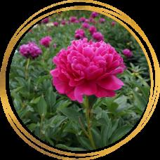 Пион Cherry royal (Черри роял)