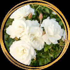 Роза полиантовая Диадэм Уайт