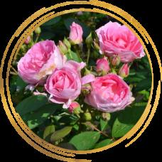 Роза Прейри Джой (канадская)