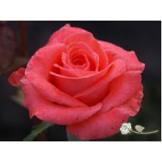 Роза Wow