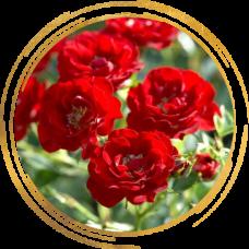 Роза канадская Хоуп фо Хьюманити