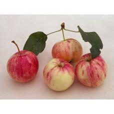 Яблоня Грушовка ранняя