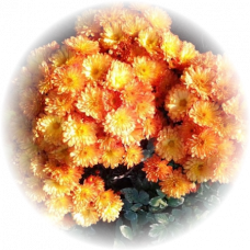 Хризантема Бран Бич Оранж (мультифлора)