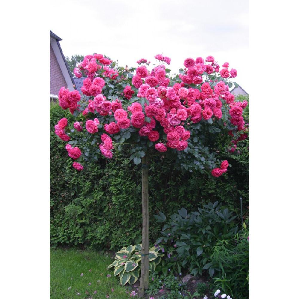 Купить Штамбовую Розу В Интернет Магазине Недорого