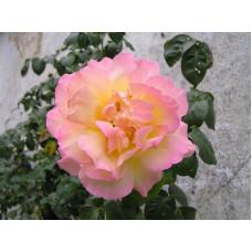 Роза плетистая Глория Дэй
