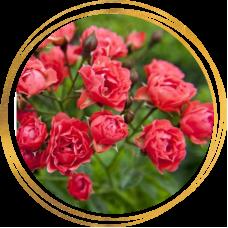 Роза полиантовая Оранж Триумф