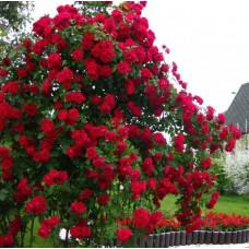 Роза плетистая Бельканто