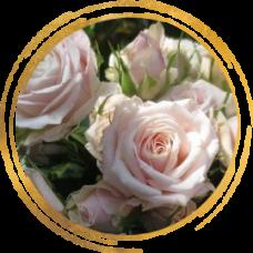 Роза спрей Олеся