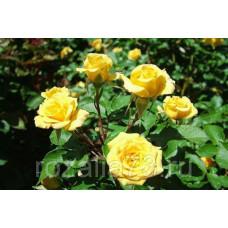 Роза спрей Yellow Baby
