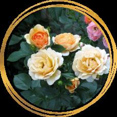 Роза Зорба