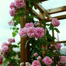 Роза плетистая Крылья Ангела