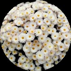 Хризантема ДРИМ