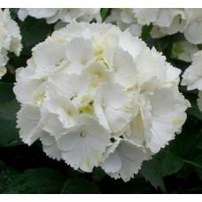 Гортензия White Wonder (крупнолистная)