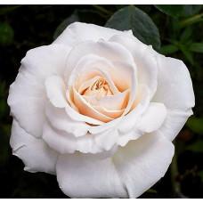 Роза плетистая Пенни Лэйн
