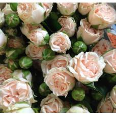 Роза Romantic Pepita (Романтик Пепита)