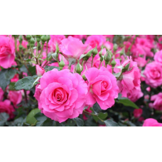 Саженцы роз оптом