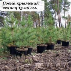 Сосна крымская СЕЯНЕЦ (15-20 см.)