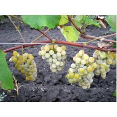 Виноград Кишмиш Ниагара