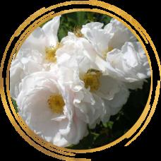 Роза канадская Лак Маджеу