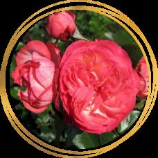 Роза Антик 89