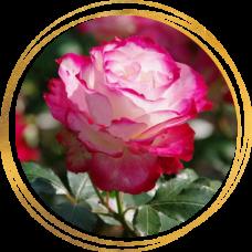 Роза полиантовая Роял Минуэто