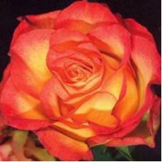Роза Анимо