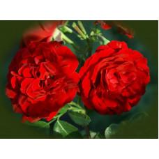 Роза плетистая Сантана