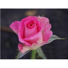Роза Topaz