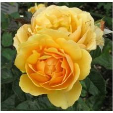 Роза Эмбер Куин (штамбовая)