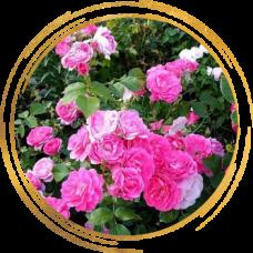 Роза канадская Моден Сентенниал