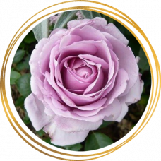 Роза Ля Роз дю Пети Принс