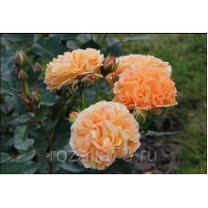 Роза Timeless(чайно-гибридная)