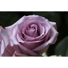 Роза Ocean Song (Оушен Сонг)