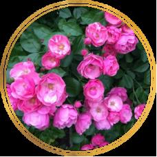 Роза Ангела (штамбовая)